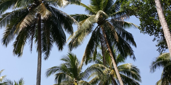 Thailand palmbomen