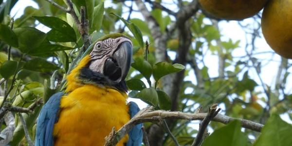 Papegaai Peru