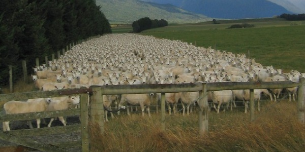 schapenfokkerij-nieuw-zeeland