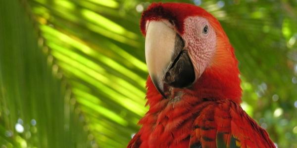 Costa Rica papegaai