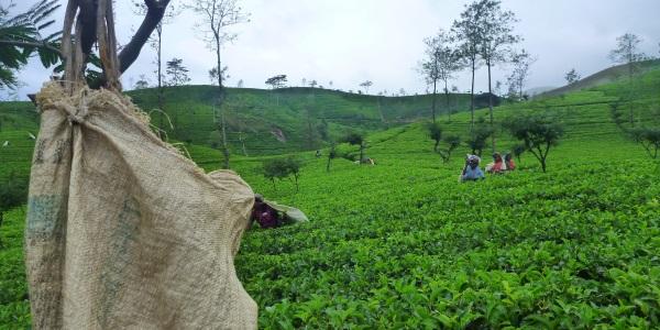 Theevelden Sri Lanka
