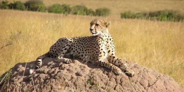 Cheetah Kenia