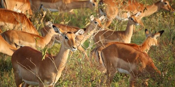 Gazelles Kenia