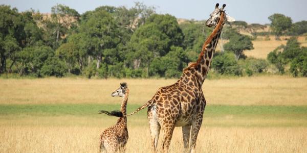 Giraffes Kenia