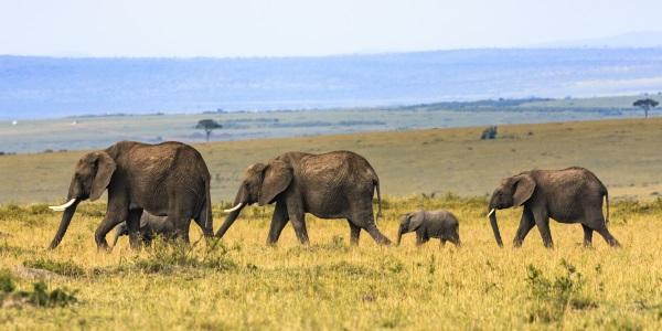 Wilde olifanten Kenia