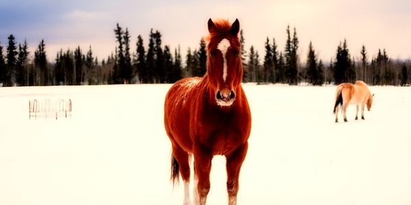Paarden Noord-Canada