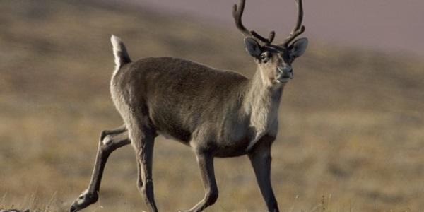 Caribou rendier